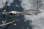 Alligator Under Clouds