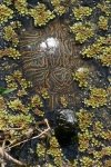 Turtle With Lovely Shell Pattern